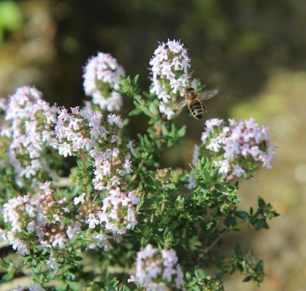 Abeille butinant une fleur de thym