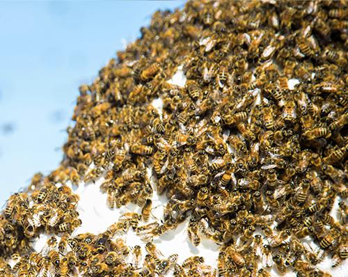 essaimage-ruche