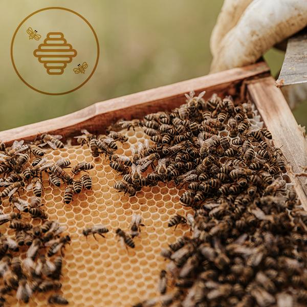 Essaim d'abeilles à vendre