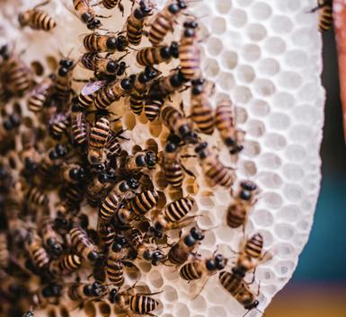 essaim d'abeilles sur un rayon de cire