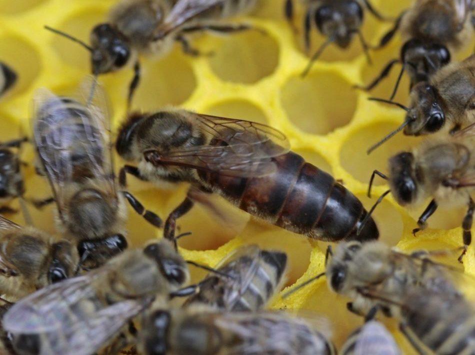 reine d'abeille fécondées à vendre