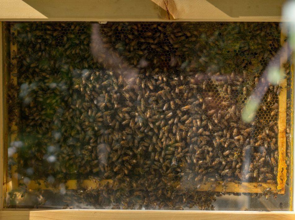 Piéger un essaim d'abeilles sauvage