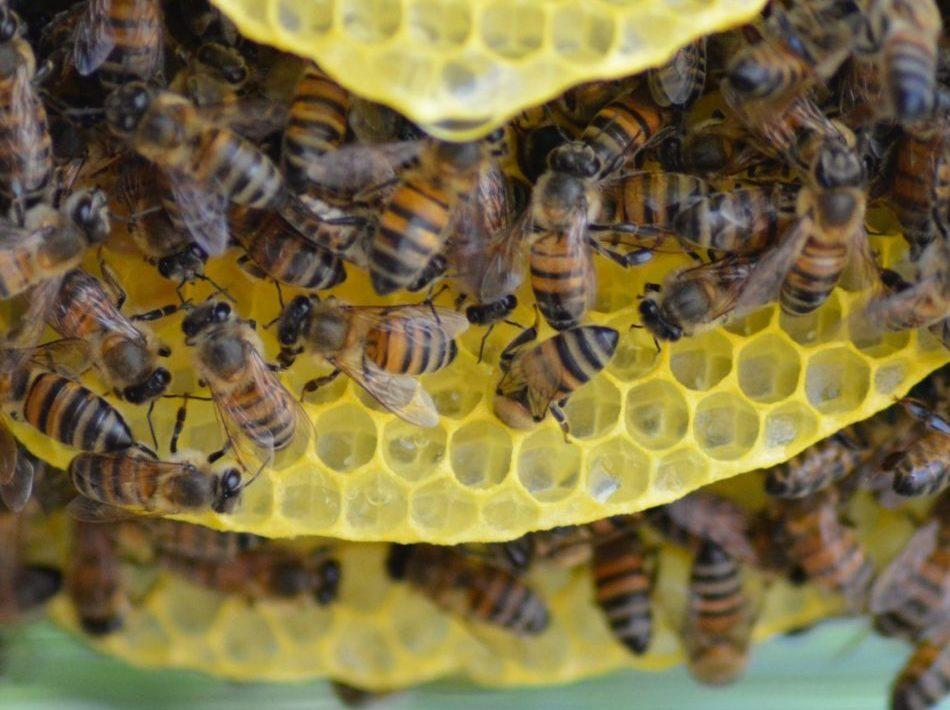 Construction de rayon naturels par les abeilles