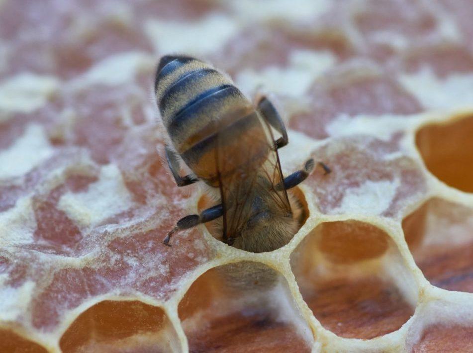 le miel est-il du vomi d'abeilles ?